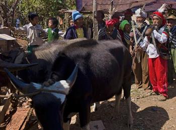 Mithun bulls, ready to be sacrificed during the ritual.