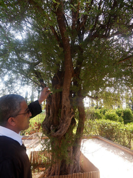 The Argan oil tree, from which the oil comes. photos by Stephanie Haigh.