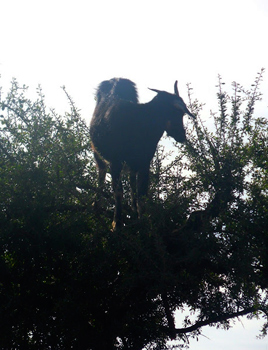 A goat in the tree. That's how they get the argan oil. Really.