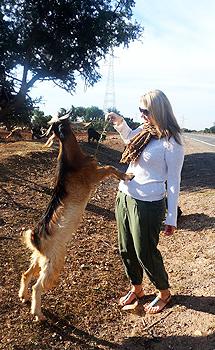 A friendly Moroccan goat.