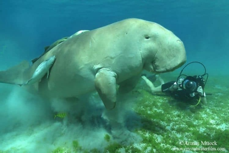 Diving with a dugong in the Red Sea with Sub Sanai. Armin Mueck photo.