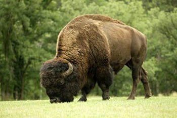 Volunteer to Save Buffalo in Yellowstone National Park