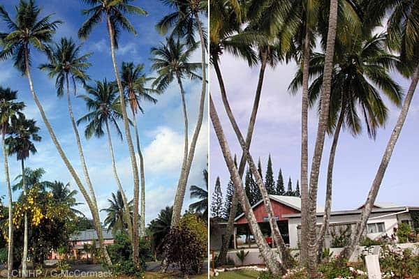 seven in one coconut tree, Cook Islands biodiversity