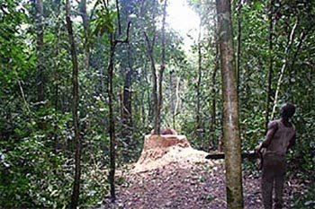 Logging in the Congo