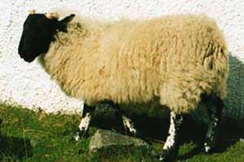 hebrides-sheep