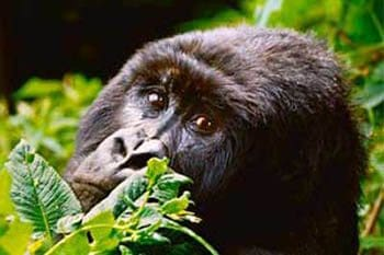 Gorillas and Guerillas in the Democratic Republic of Congo