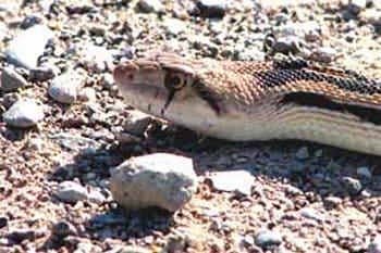 A Snake Safari in Northwest Nevada