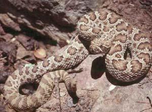 Western rattlesnakc in Nevada. Andrew Kolasinski photo.