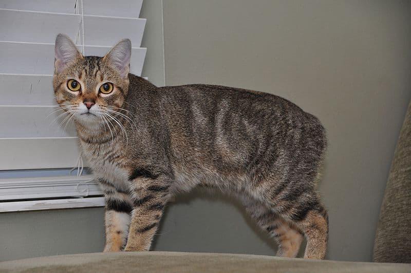 A Rumpy Manx cat.