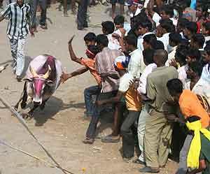 Jallikattu–Taming the Bulls in India