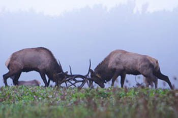 Pennsylvania's Elk Rut: A Fight for Love and Glory