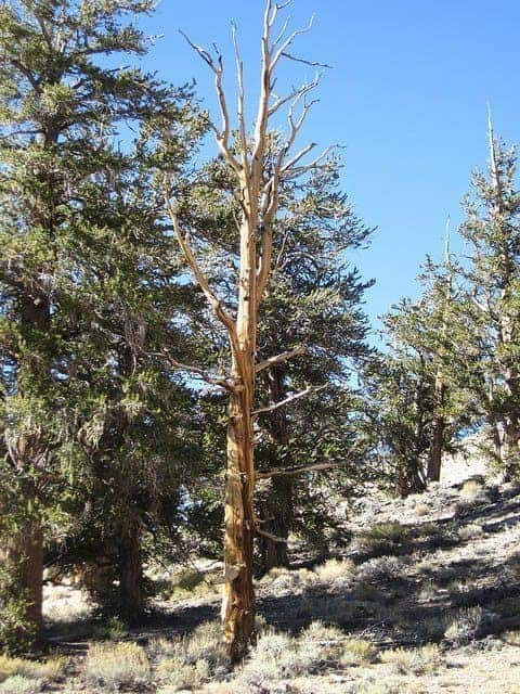 Ancient Bristlecone Pine Forest, Big Pine, CA. Photo by Flickr user pablo_marx