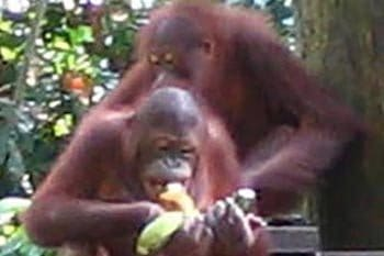Malaysia: Viewing Our Cousins, the Orangutans
