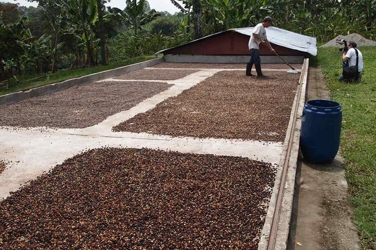 Coffee beans drying at a boutique coffee roasting farm in the Coffee Triangle.