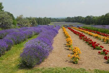 Lavender: This Natural Perfume Charms Visitors in Quebec
