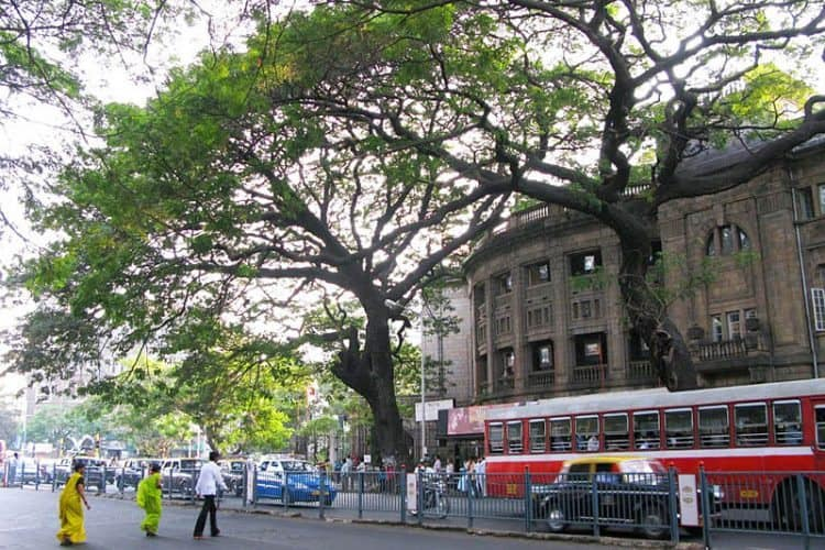At the Prince of Wales Museum roundabout in the center of Colaba, an enormous rain tree sprawls out over the street. Planted in the front of the National Gallery of Modern Art, this tree is a visitor from the tropics of South America.