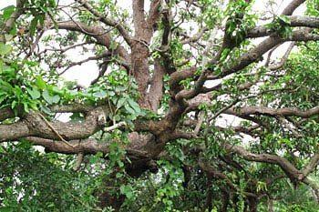 Sacred Trees of Western India: Mumbai's Green Ambassadors