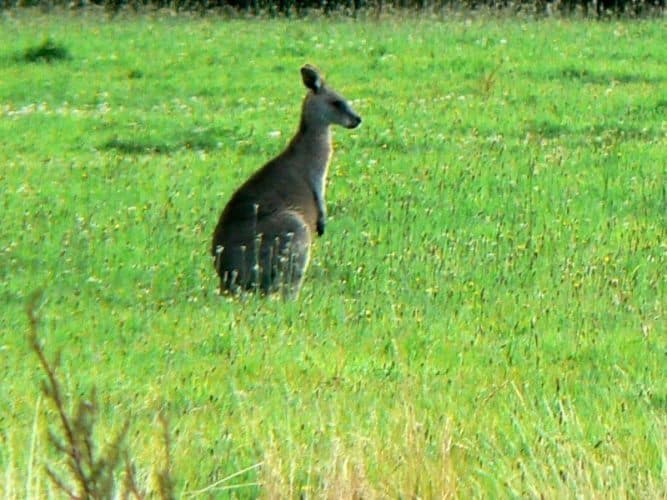 A roo in the field