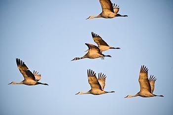 Sandhill cranes in Kearney, Nebraska