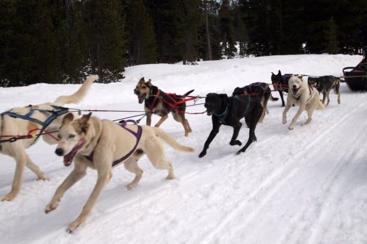 Iditarod veteran dog, pulling a sled in Bend, Oregon. Max Hartshorne photos.