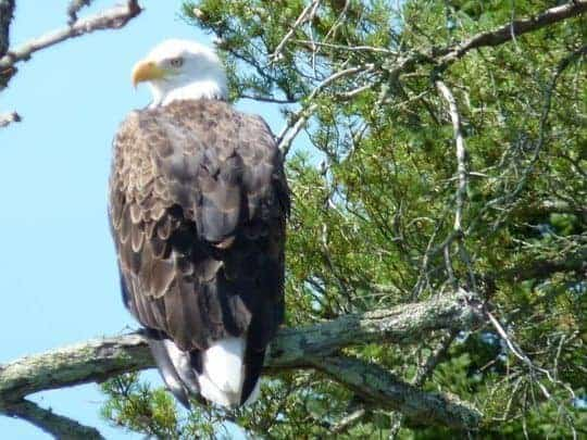 eagle at Lake of the Woods, Canada