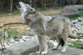 Howling with the Wolves in Ely, Minnesota