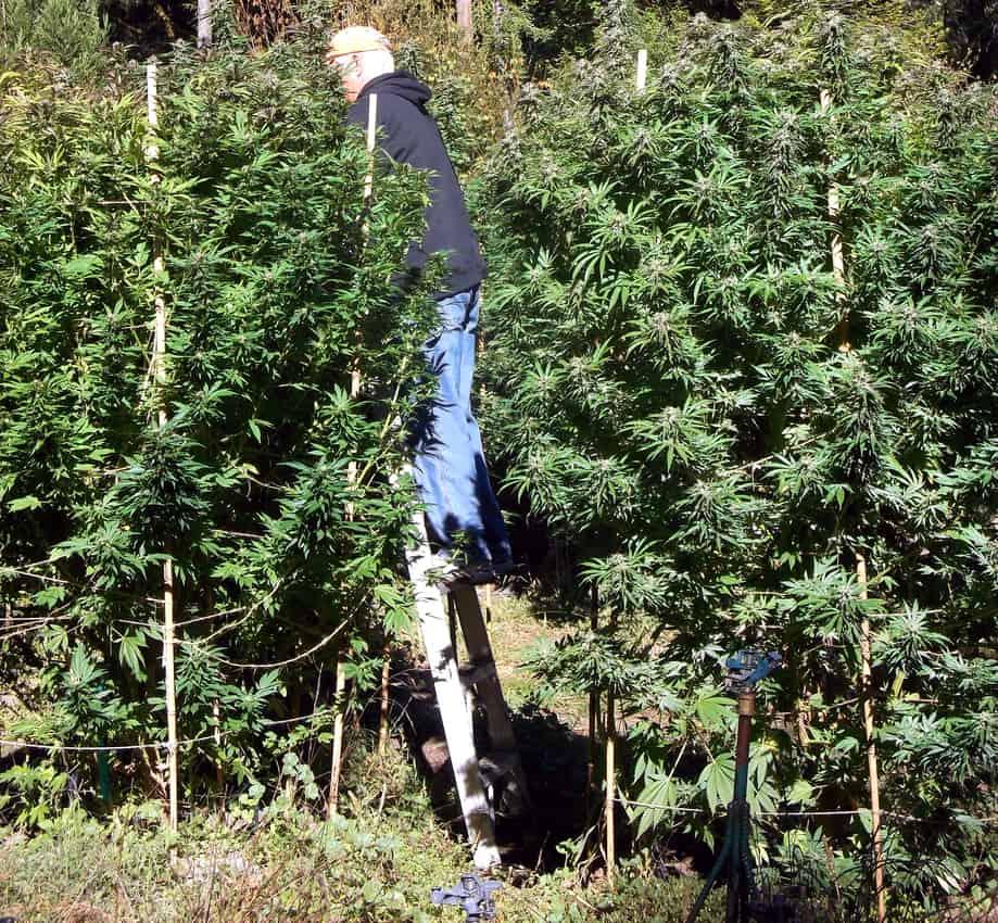 Cannabis farm, Mendocino County CA.