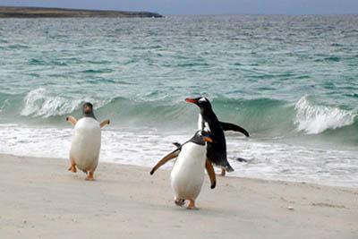 falklands penguins