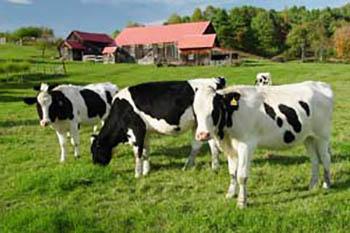 vermont-cows2