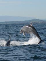 bottlenose-dolphin in Sardinia