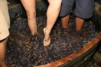 Crushing grapes in Napa Valley.