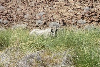 rhino in the bushes of Namibia