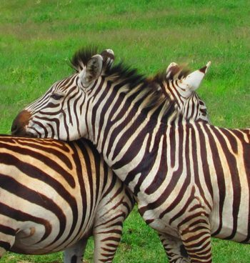Affectionate zebras.