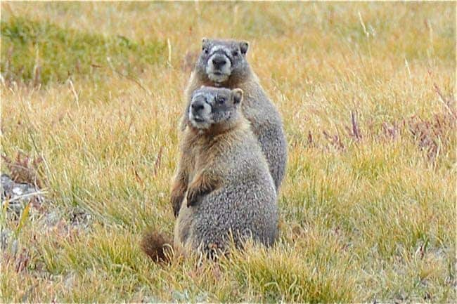 Marmots at the mountaintop.