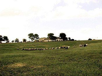 Grazing sheep in Puglia, Italy.