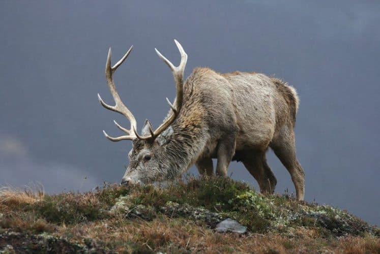 An elk grazes in the wilds of Scotland.