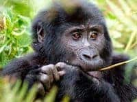 A gorilla in Rwanda at the Silverback Lodge.