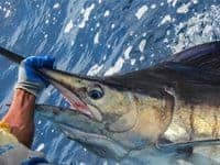 Catch and release marlin off the shores of Costa Rica