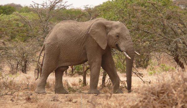 Elephant in Kenya.