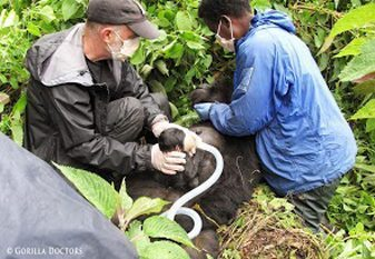 Dr Mike helps out a gorilla in Rwanda.