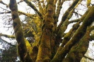 This mossy tree was quite a contrast to the whiteness just miles up ahead near Mt Baker.