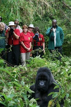Gorillas are thriving in Rwanda, partly aided by Terra Ingognito's donations.