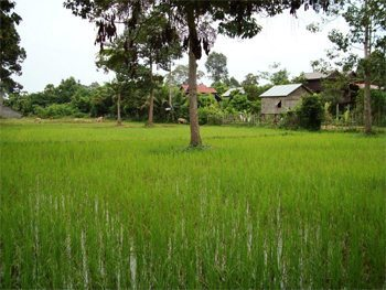 Rice paddy in Angkor Wat, Cambodia.