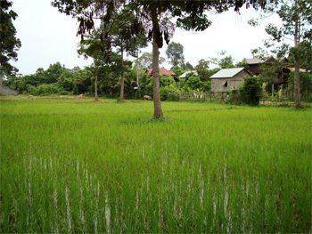 Rice paddy in Angkor Wat, Cambodia.