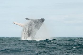 Breaching whale off the coast of Madagascar.