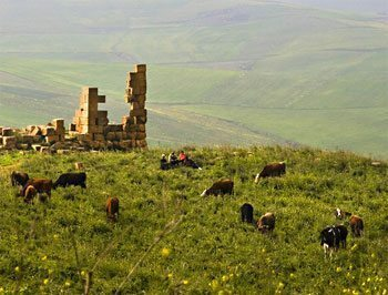 Cows grazing next to a Roman ruin in Algeria. photo by Tom Coote.