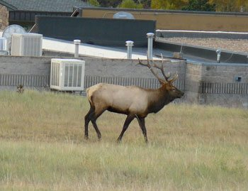 An elk grazes on the lawn of the Stanley Hotel in Estes Park, Colorado
