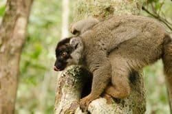An endangered Lemur.