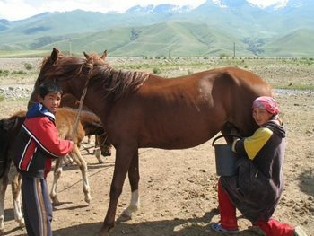Milking a mare in Kyrgyzstan. photo by Dina Bennett