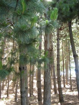 Pine forest in Chile.